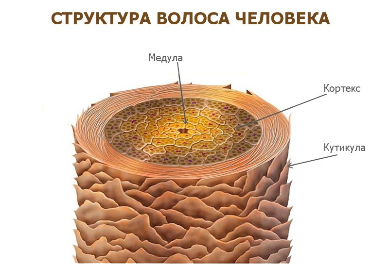Строение волоса в поперечном разрезе