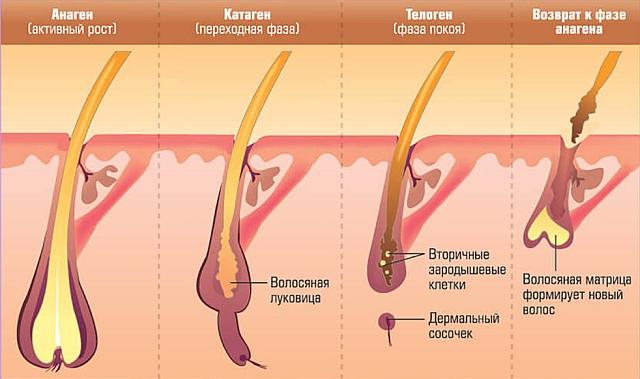 Схематичное представление фаз роста волос