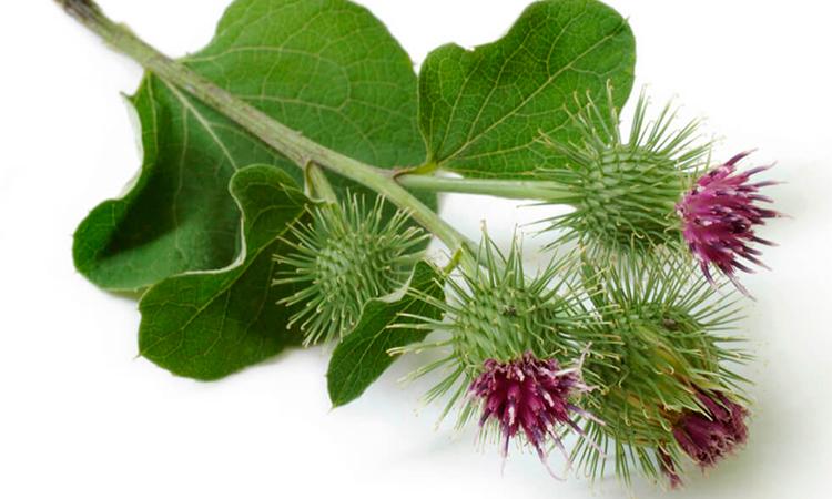 Репейник, или лопух, издавна использовался в уходе за волосами